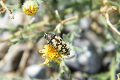 A small wood-boring beetle (Buprestidae)