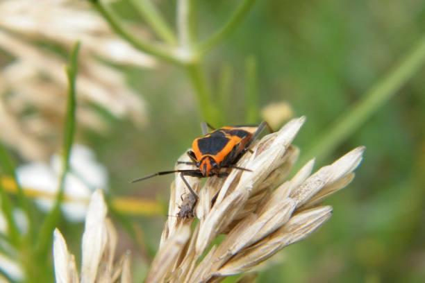 A milkweed bug (Lygaeidae) looking very comfortable between some dried flowers.