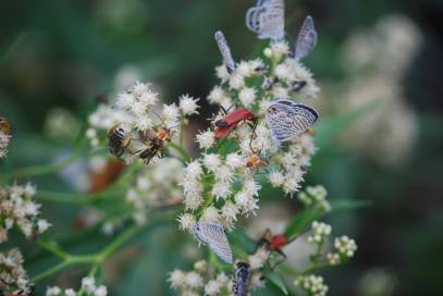 Just a small snapshot of the incredible diversity of insects that were visiting these flowers all at once. (Photo credit: Melissa Cruz)