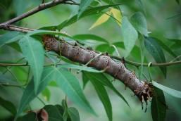 Huge caterpillar of the Splended Royal Moth (Citheronia splendens sinaloensis). (Photo credit: Melissa Cruz)