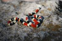 The first Coral snake I had ever seen in the wild. (Photo Credit: Melissa Cruz)