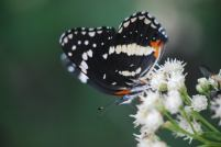 Bordered patch butterfly (Chlosyne lacinia crocale). (Photo credit: Melissa Cruz)