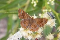 A number of Arizona Metalmarks (Calephelis arizonensis) were present on and around the flowers.