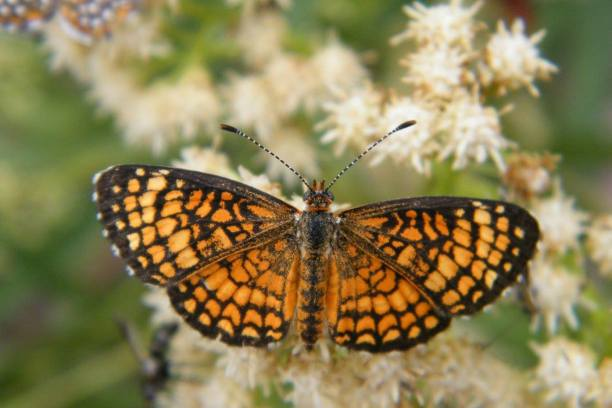 The Arizona Checkerspot (Texola perse) was also one of many different brushfoot butterflies that were visiting these flowers.