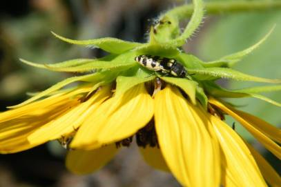 Buprestids (Wood-boring beetles) also enjoy hanging out in and on flowers.