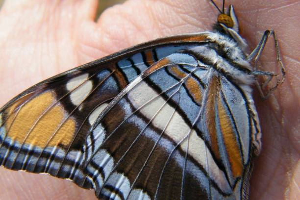 Underside of a near perfect Arizona Sister Butterfly (Adelpha eulalia).