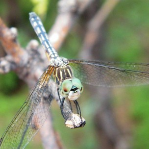 There were many dragonfly species that I encountered around the lake, but these were most common.