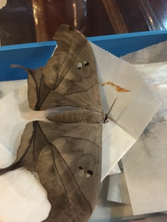 Silkmoths, or Saturniids, such as this Dysdaemonia boreas, fly very late at night.