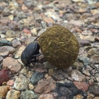 Another first for me was witnessing a dung beetle rolling a near perfect dung ball.