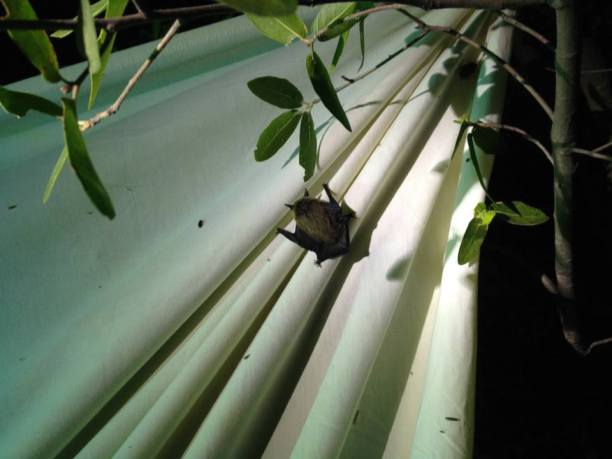 Apparently insects and entomologists weren't the only things attracted to the sheet. This bat decided to take advantage of the insect buffet provided by the light. (Photo Credit: Alex Nguyen)