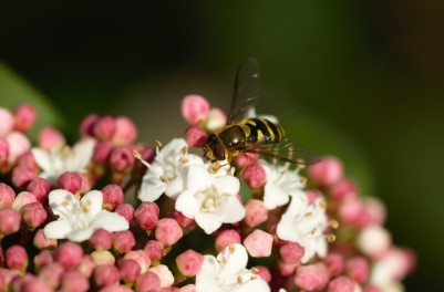 The hover flies in the area really enjoyed these small, white flowers.