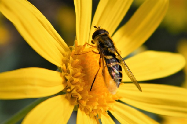 Syrphids, or hover flies, are flies that many people mistake for bees.