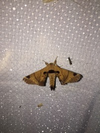 A species in the family Bombycidae.