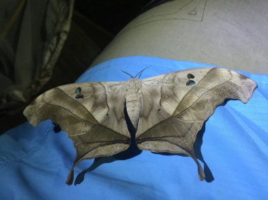 Dysdaemonia boreas. One of the two species we found in Belize.