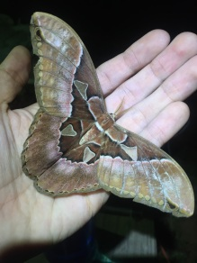 This was one of many Rothschildia species that were found on at the blacklights.
