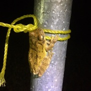 The common Mexican tree frog made an appearance near the lights to feed on the insects coming to the sheet.