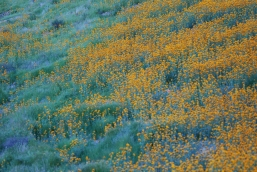 From a distance the flowers literally turn the hillside orange.
