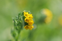 Amsinckia or fiddleneck flowers were also very abundant towards the entrance to the canyon.