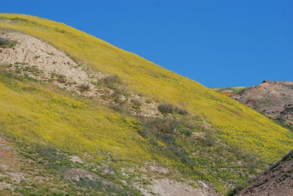 Goldfield flowers covered parts of the hillside with a vibrant yellow.