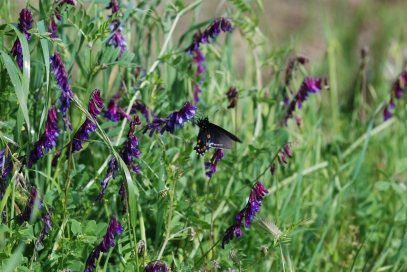 The pipevine swallowtails were out in full force, nectaring on many different flowers throughout the canyon.