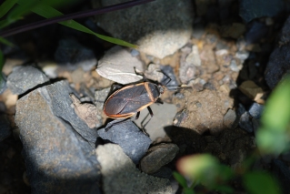 This largid bug had stopped moving just as I was taking its photo. The shadow effect was from the bush I had to part slightly to get the picture.