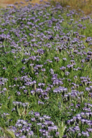 These tansy leafed phacelia flowers (Phacelia tanacetifolia) were more common in the grooves between each hillside.