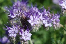 A closer look at the tansy leafed phacelia flowers.