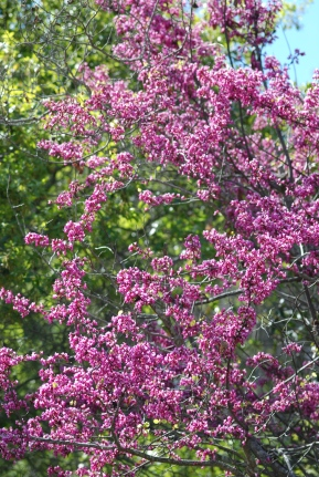The California redbud was blooming all throughout the canyon and it was a nice contrast to the green background.