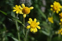 The goldfield flowers aren't the most showey type flowers but where they are msot beautiful is in large numbers.