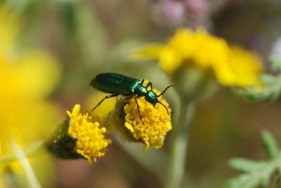 A nice metallic green blister beetle (Meloidae) decided to make an appearance.