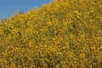 The goldfield flowers really turned the hillside into gold.