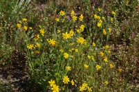 This is a better view of the goldfield flowers and how each plant looks individually.