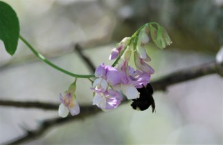 This bumble bee decided to nectar as I was photographing these flowering legumes.