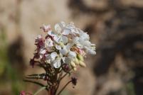 Shredding primrose (Eremothera boothii ssp. decorticans). This is a Mojave Desert Disjunct species.