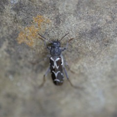 This beetle may have been parasitized due to the fact that it was moving very slowly after we picked it up.