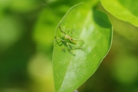 This katydid nymph was very curious about my camera. Enough that it never hopped away.