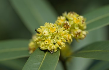 These little Melyrid beetles were all over the California laurel flowers.