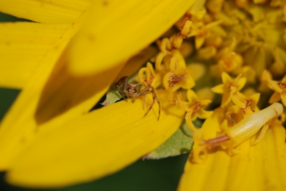 There were a number of small spiders hiding in the Wyethia.