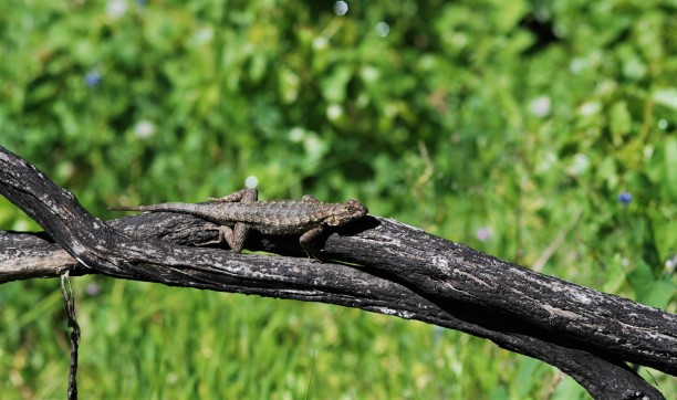The western fence lizards were also more common now that the sun is out and the days have become warmer.