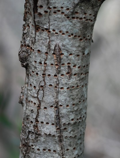 These are all exit holes created by beetles that emerged from the wood after they became adults.