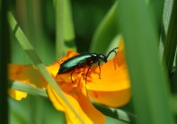 There were so many around that almost every poppy had a beetle in it.