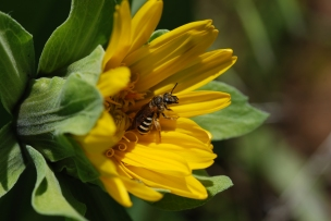 This species of Halictid was very common among the Mule's ear flowers.