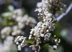 I'm not sure what species of ceanothus this was but the smell from its flowers was very strong.