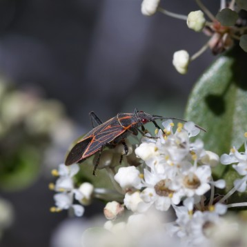 Soap-berry bugs (Rhopalidae) were a nice surprise on the bush of ceanothus.
