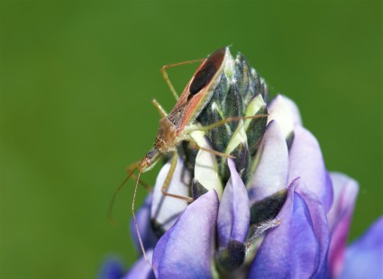 This assassin bug (Reduviidae) was surprisingly photogenic atop the blooming lupine.