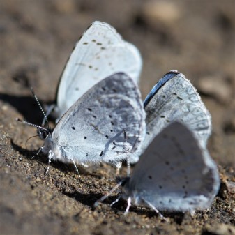 These Lycaenid butterflies are more commonly called glossamer-winged butterflies due to the sheer appearance of their wings.