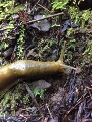 A different angle on the banana slug we encountered.