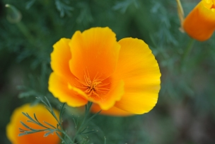 The California Poppies were nearing the end of their bloom.