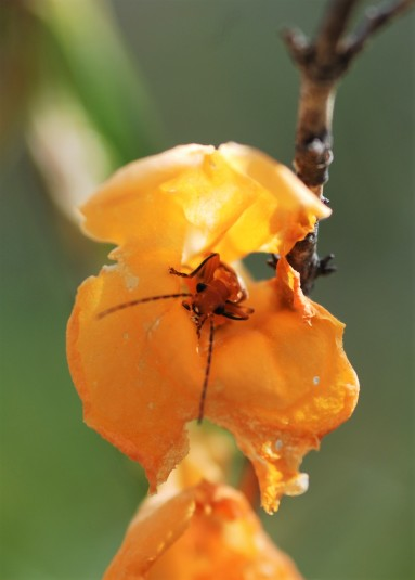 This soldier beetle (Cantharidae) seemed very comfortable in the monkey flower.