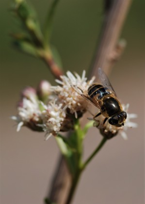 These syrphid flies were enjoying the blooming seep willow.